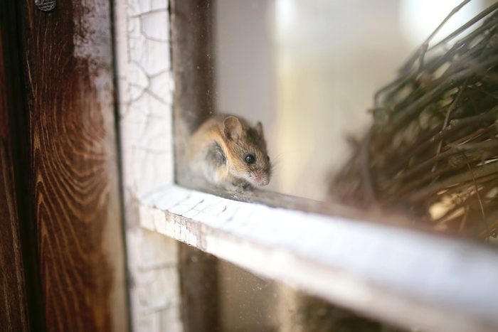 Cute Little Grey House Mouse Hiding in Window Sill