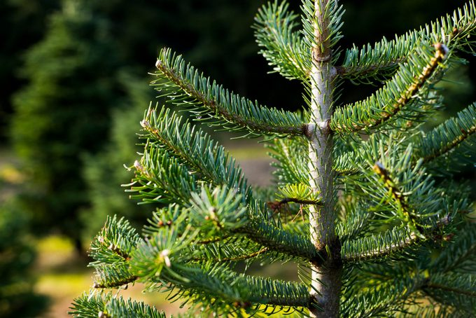 Noble Fir at Christmas tree farm in the Pacific Northwest
