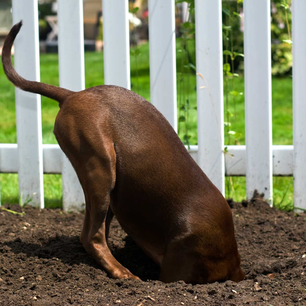 Dog digging under a fence