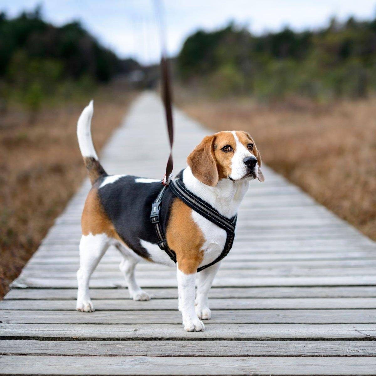 Beagle wearing a dog harness