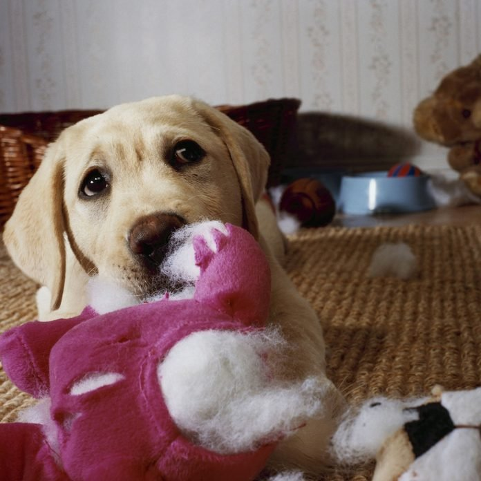 Dog with a ripped stuffed toy