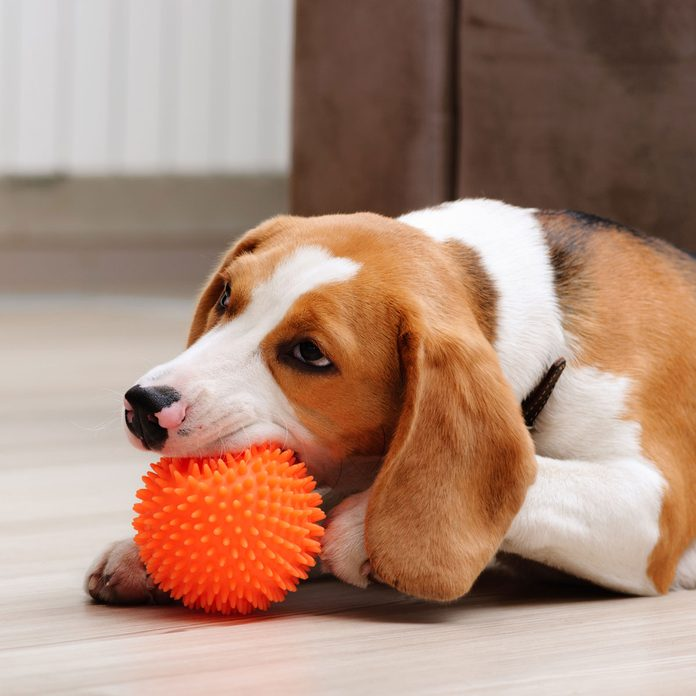 Dog with a squeaky toy