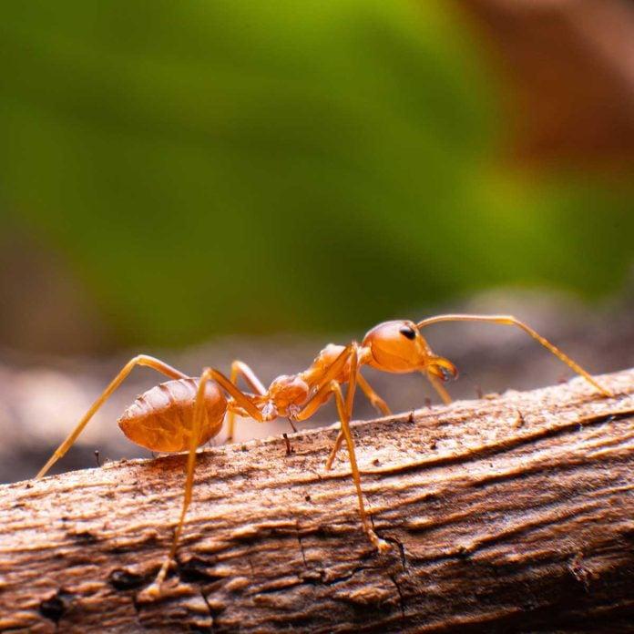 Citronella ant