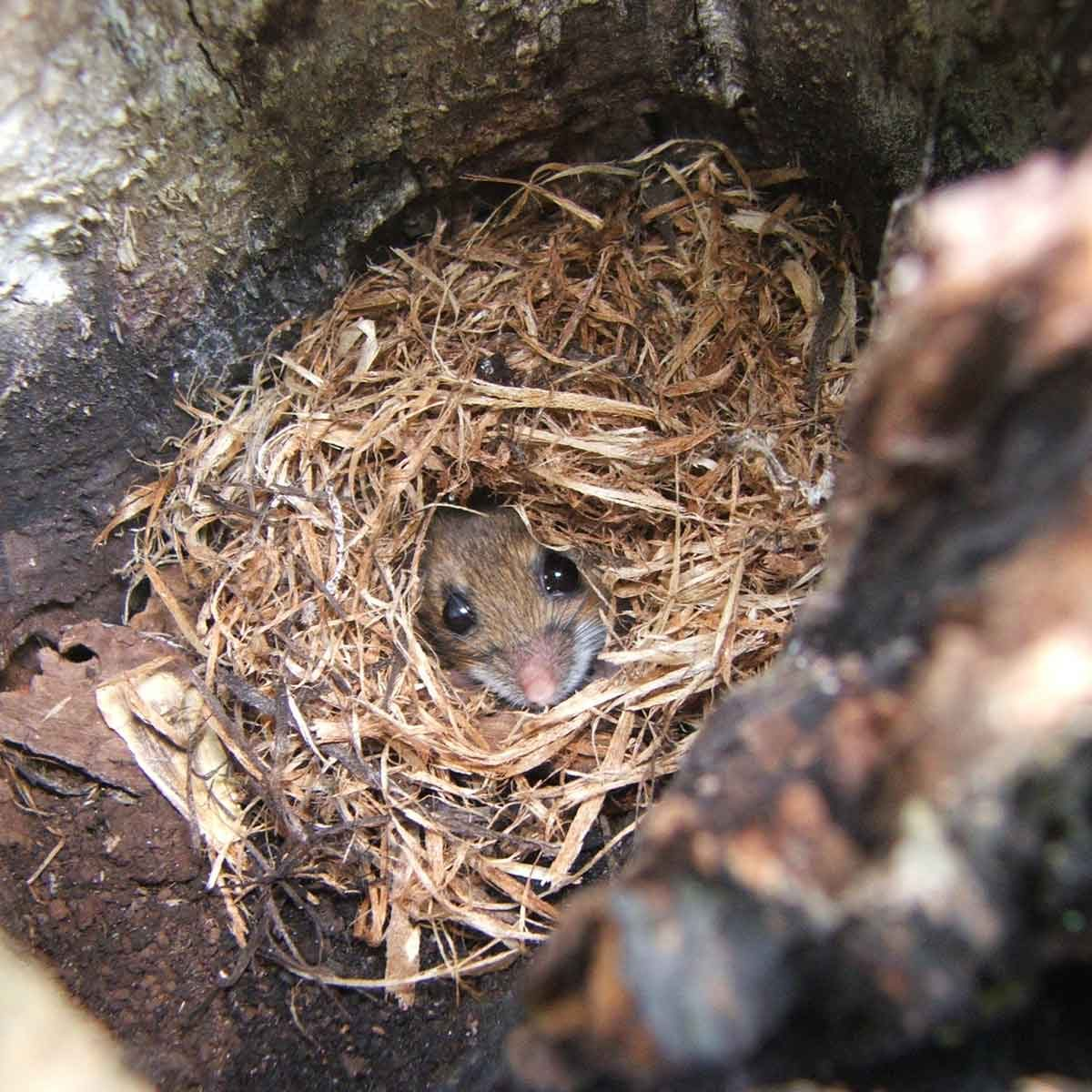 Mouse in a nest