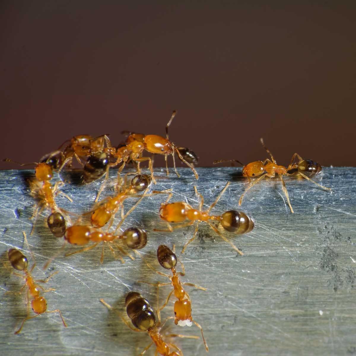 Pharoah ants
