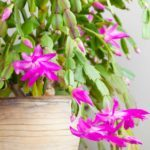 Tips for Caring for Your Christmas Cactus