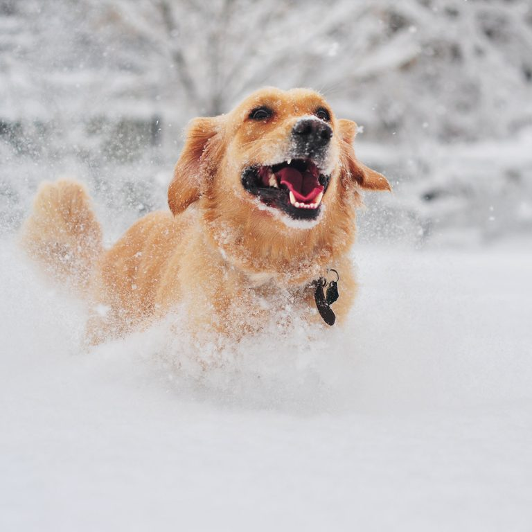 Golden retriever dog running on fresh snow pets in winter