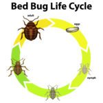 What to Know About Bed Bugs' Life Cycle