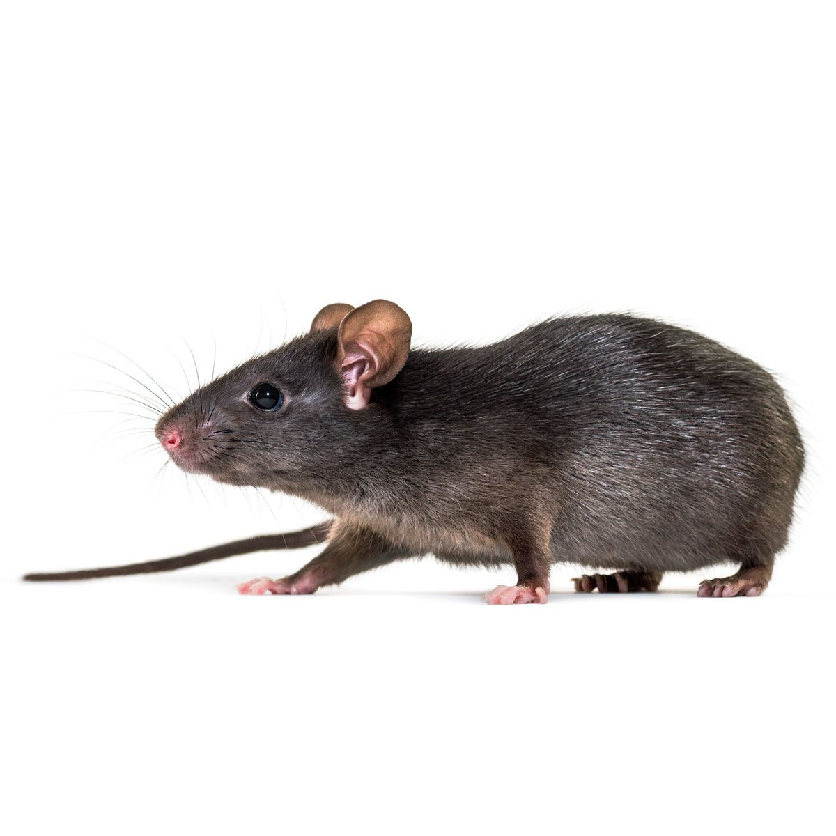 Black rat (roof rat)