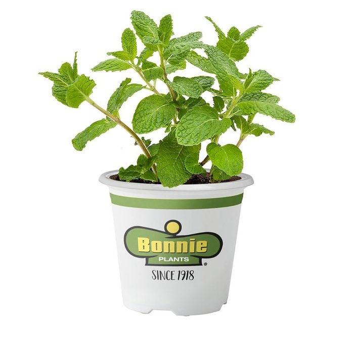 bonnie herb plants mint
