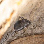 The Homeowner's Guide to Rodent Pest Control