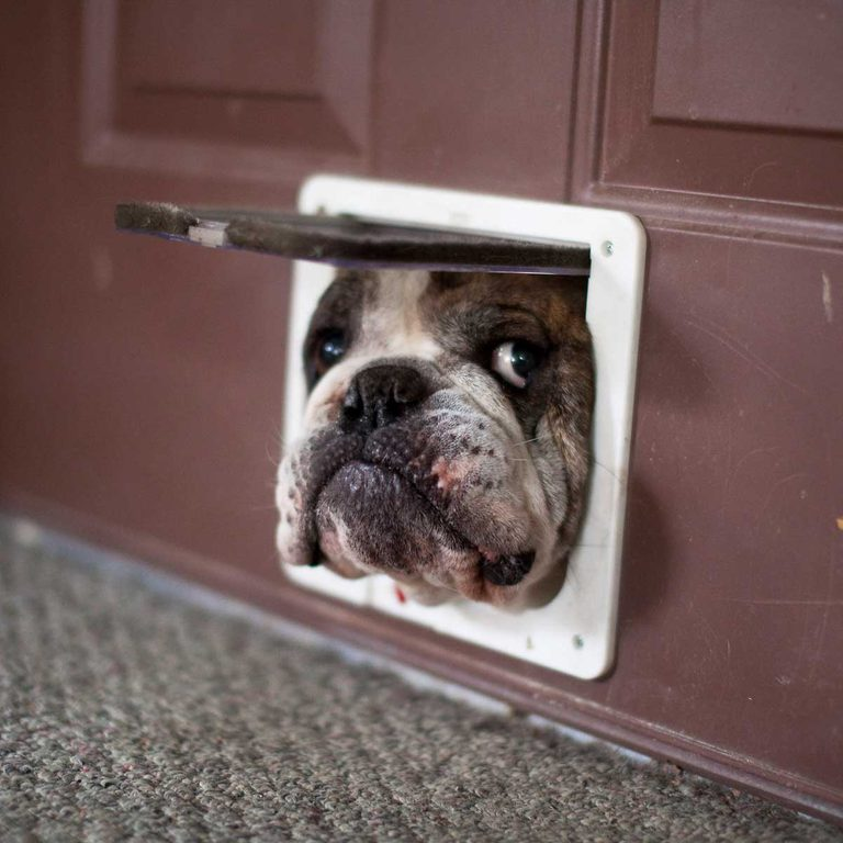 Dog peeking out a doggy door