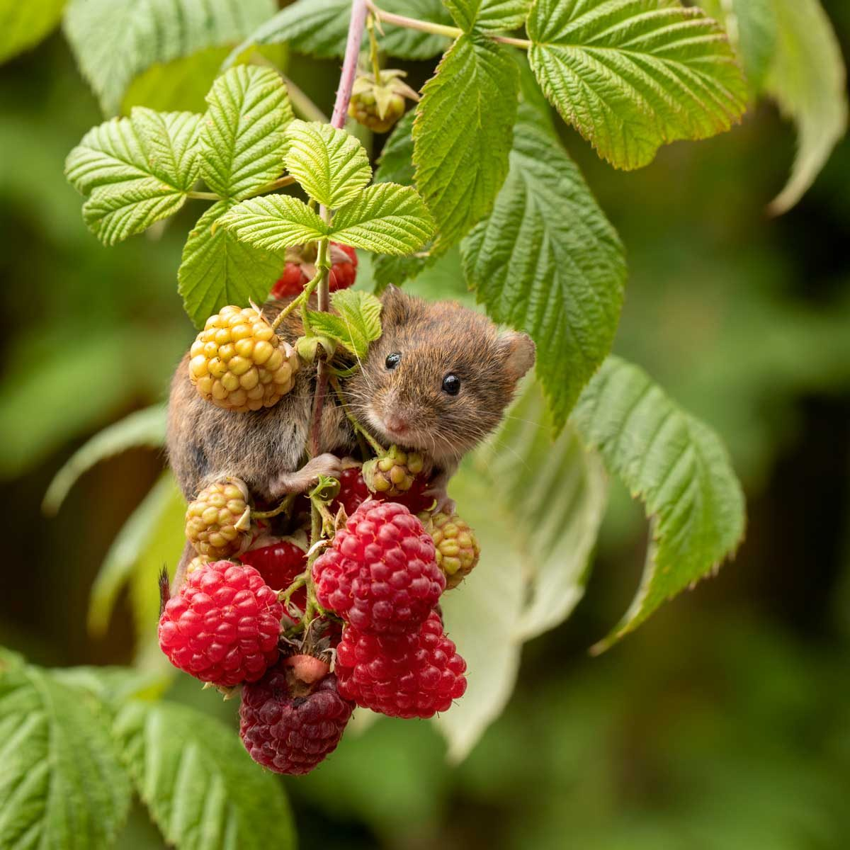 Rodent on a raspberry