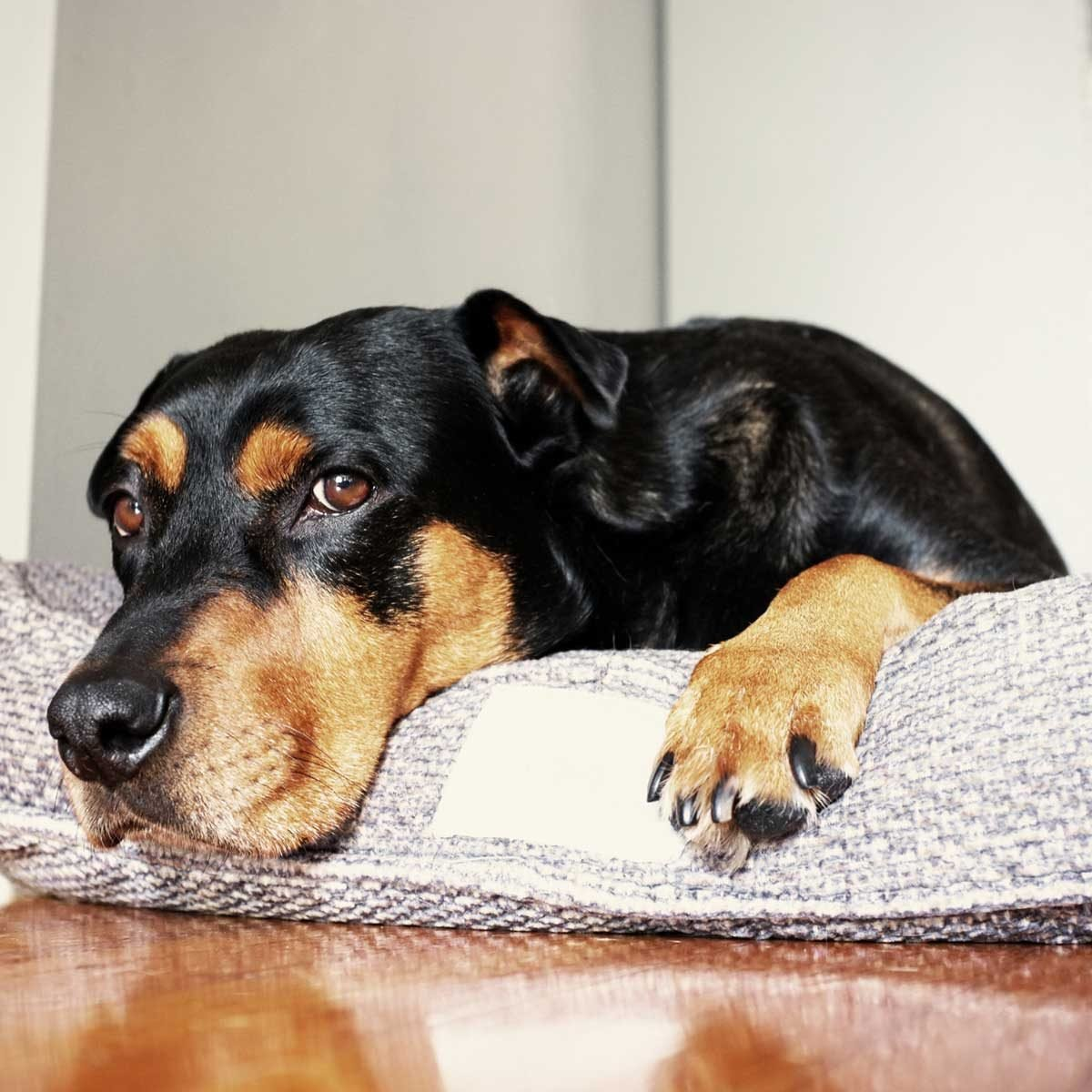 Dog Bed Gettyimages 520433124