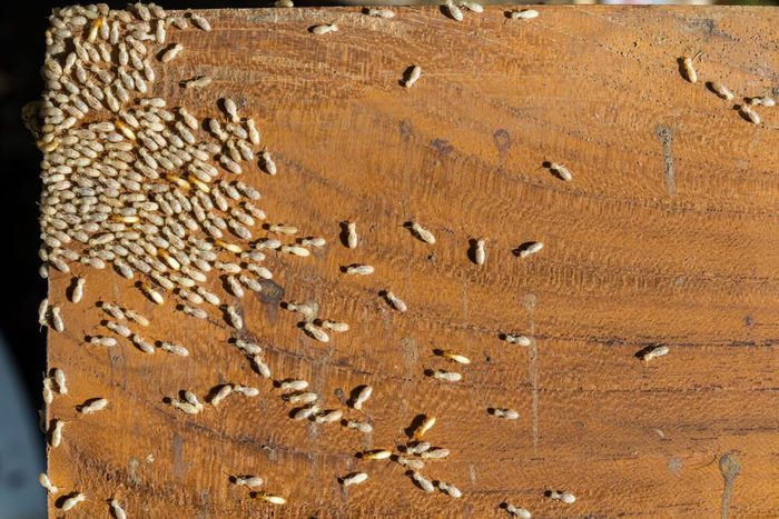 Group of termites on a surface of wooden board