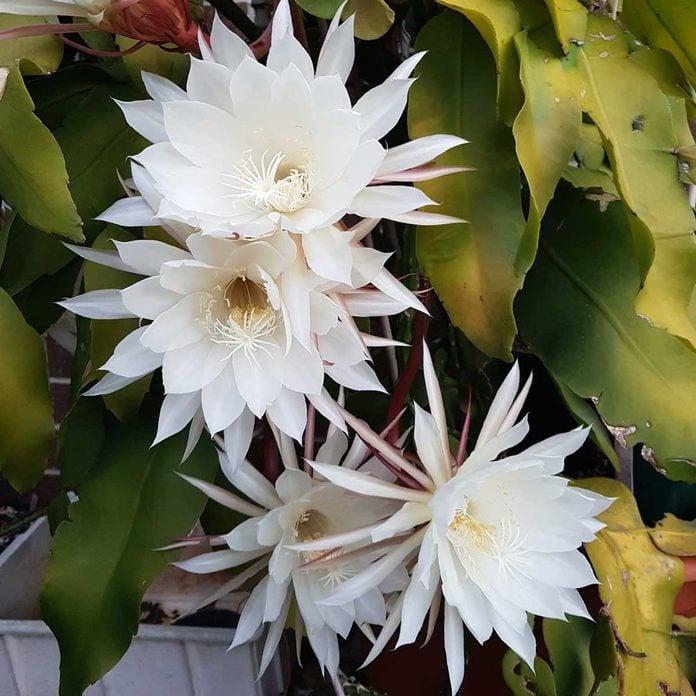 Epiphyllum Oxypetalum Gettyimages 1159194890