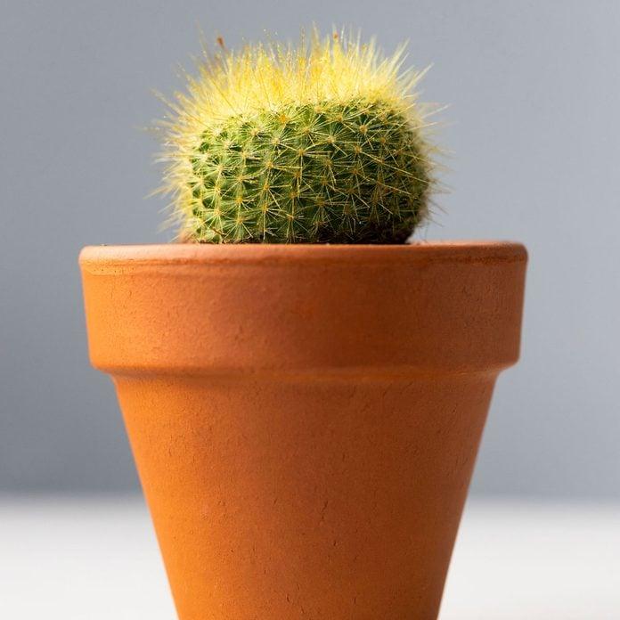 Mammillaria Cactus Gettyimages 1294514275