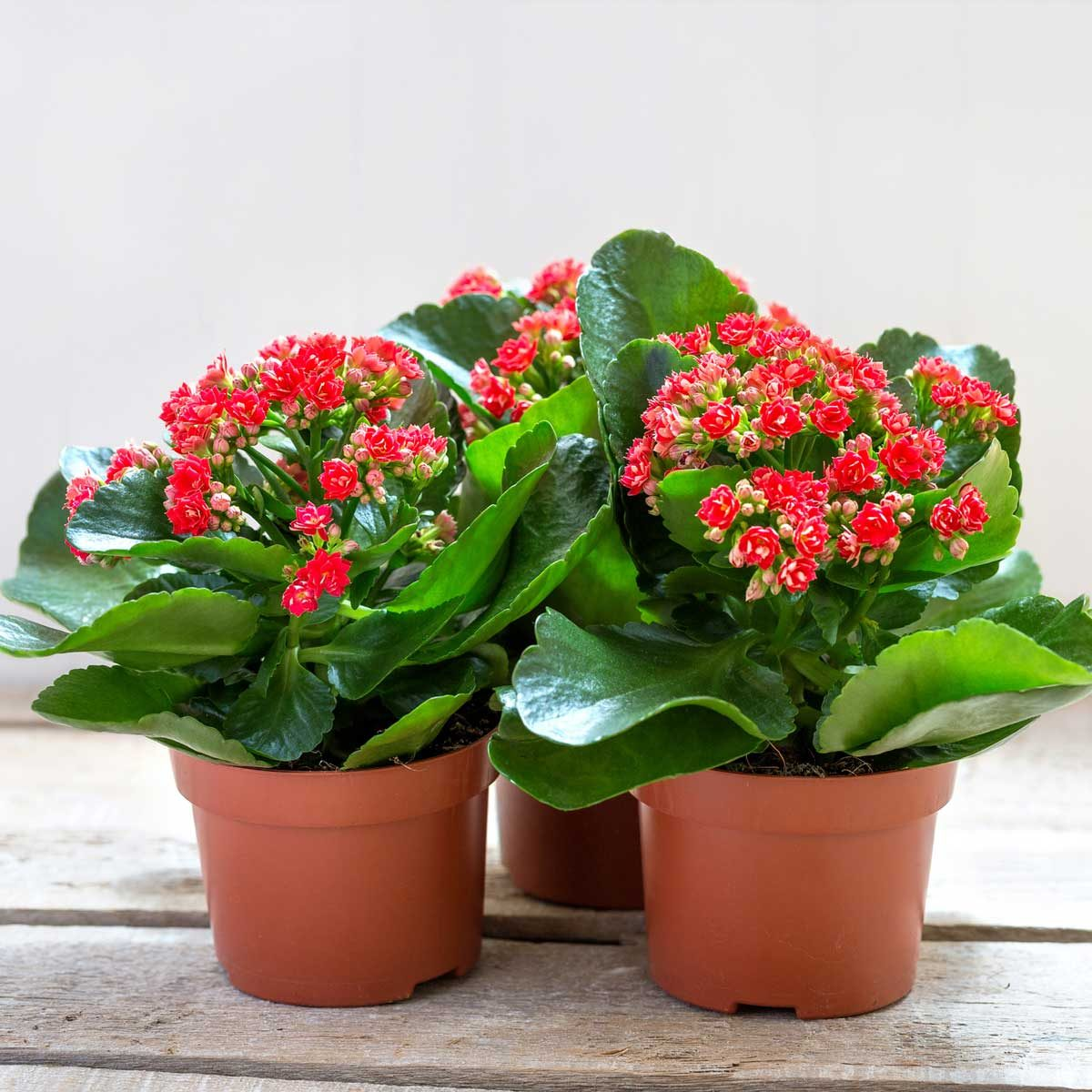 Red Kalanchoe Gettyimages 1202667570