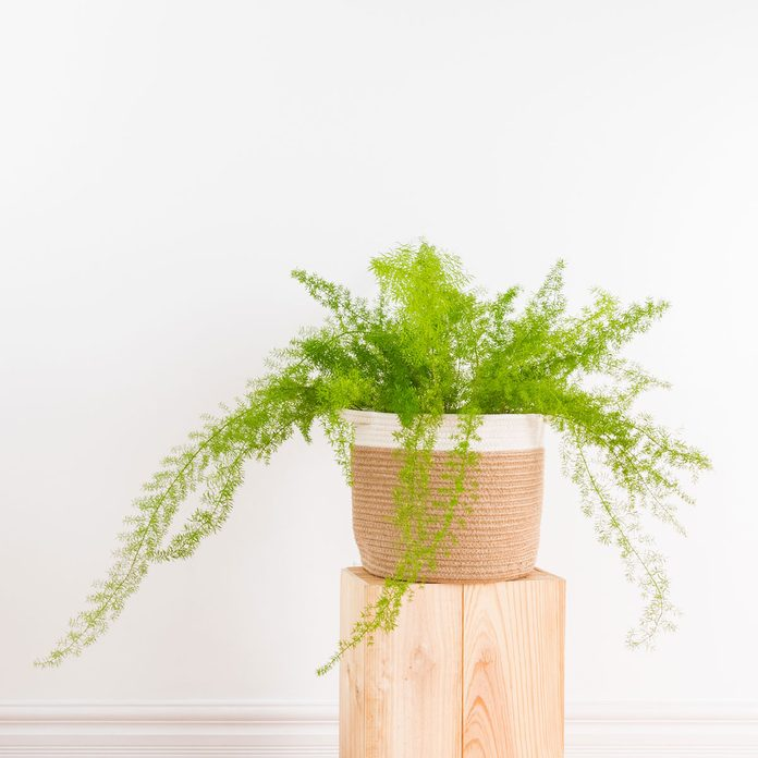 Asparagus Fern Gettyimages 972247932