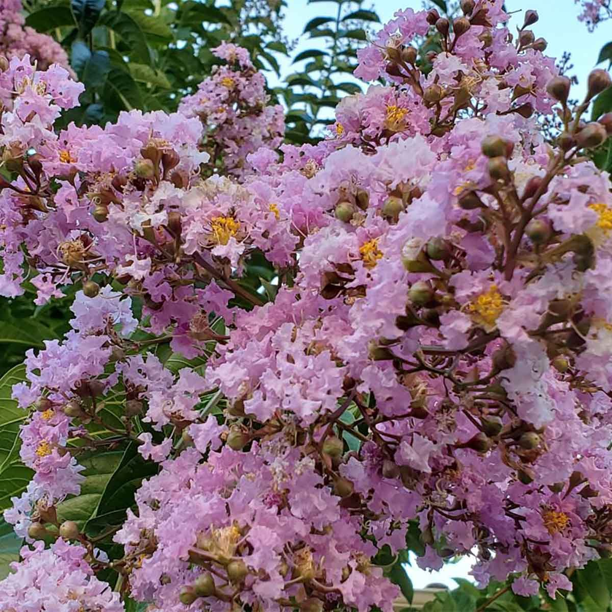 How To Prune Crepe Myrtle