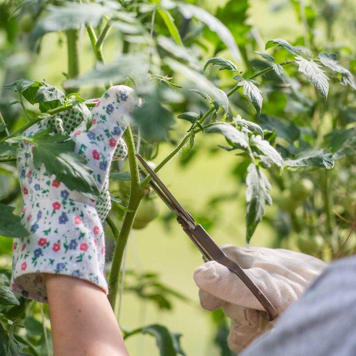 Pruning Tomato Plant