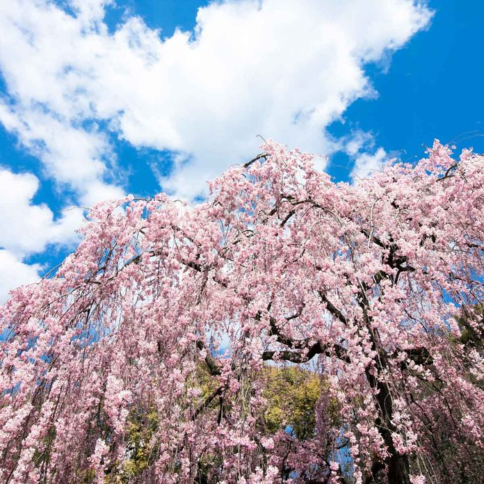 Weeping Cherry Tree Gettyimages 1065336318