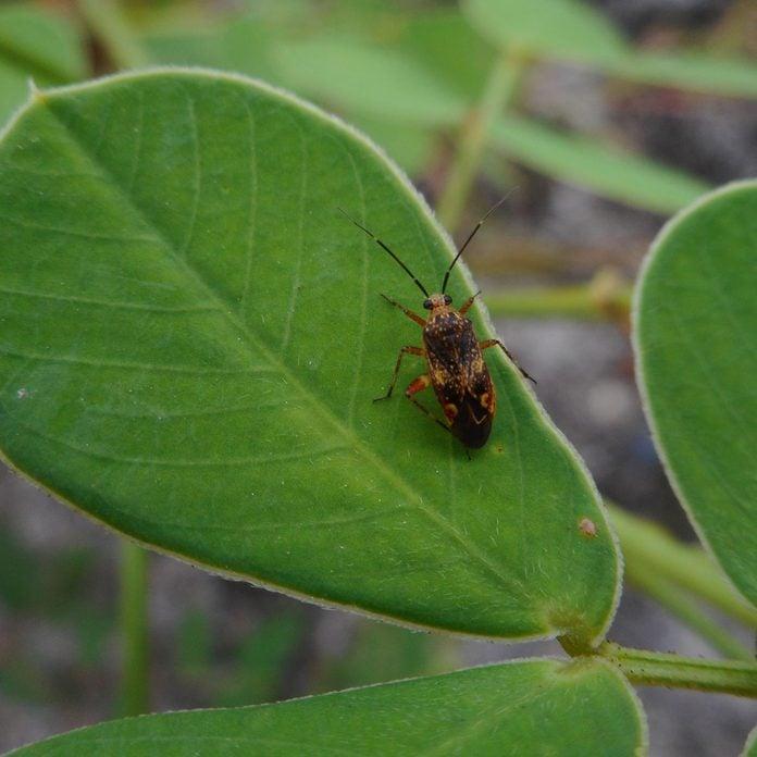 Blissus Leucopterus (cinch bug)