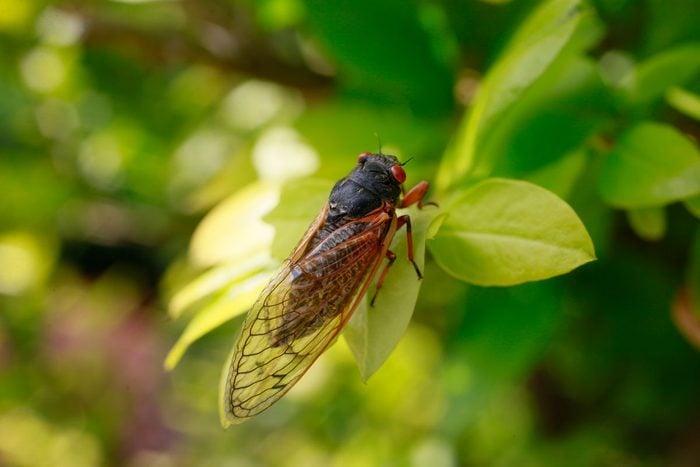 Brood X Cicada Gettyimages 875944236