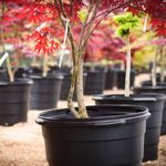 Japanese Maple Tree Care: Planting and Growing Tips