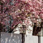 How to Plant and Grow a Magnolia Tree
