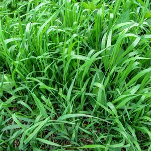 What Is Quackgrass and How Do I Get Rid of It?