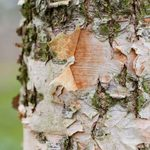 How To Plant and Grow a River Birch Tree