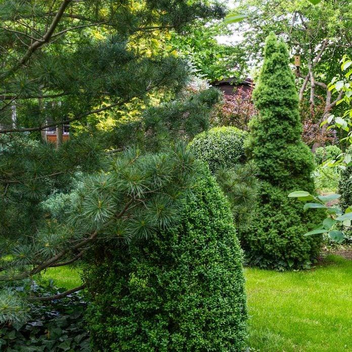 Spruce Variety