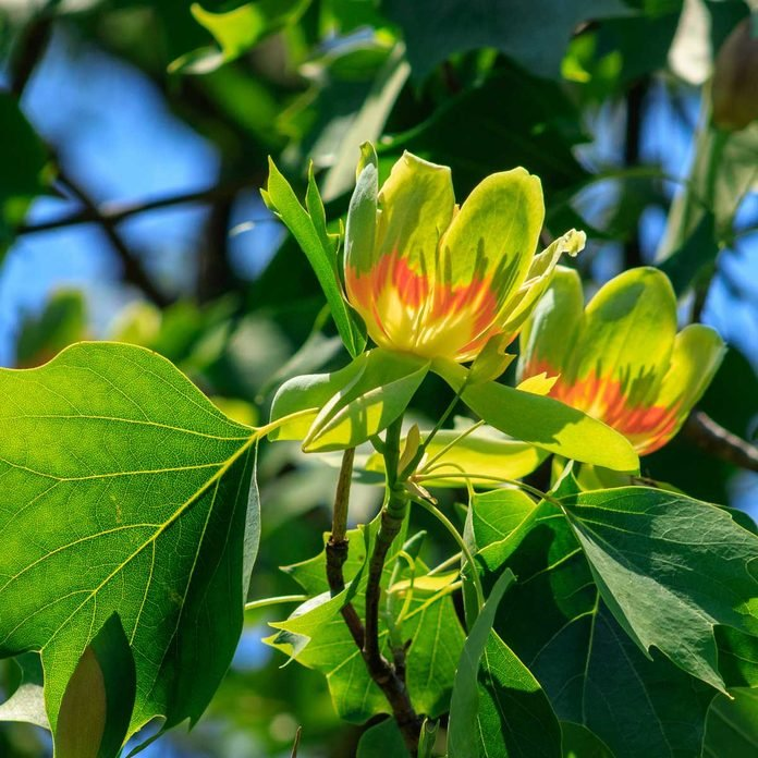 Tulip Tree Flowers Gettyimages 1225930539