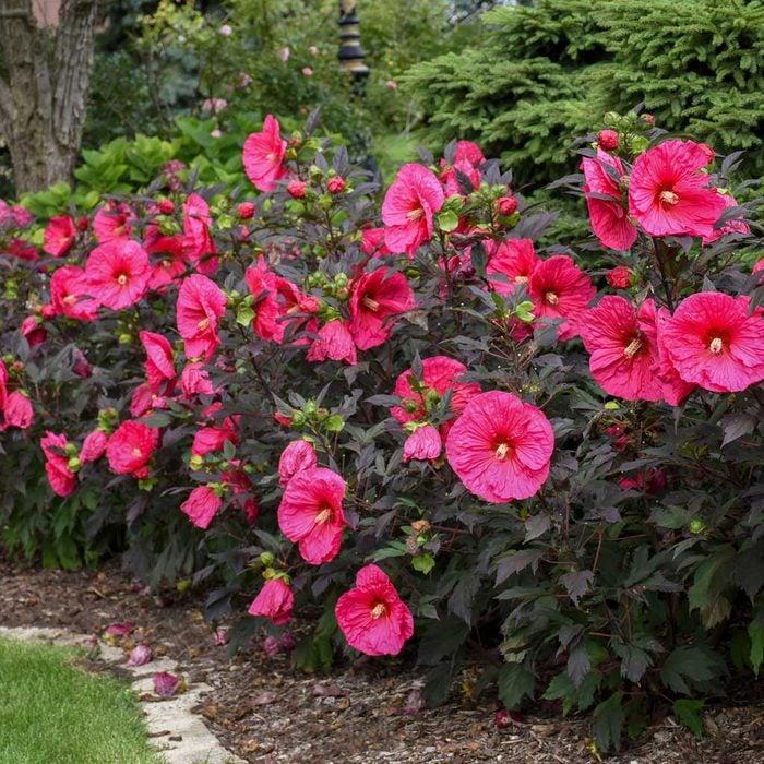 Hibiscus Summerific Evening Rose Walters Gardens