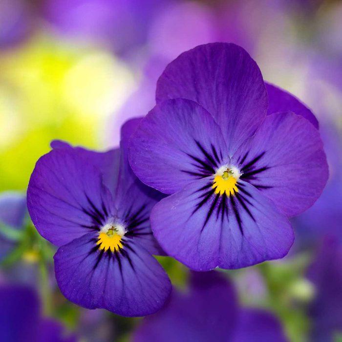 Pansies (Violas)
