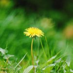 How To Get Rid of Dandelions in Your Lawn