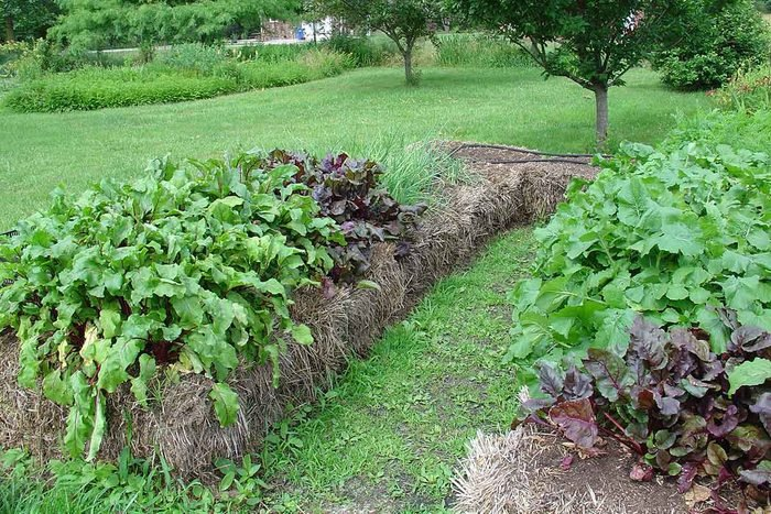 Hay Bale Gardening: Beat Tops And Chard In Large Planting Beds