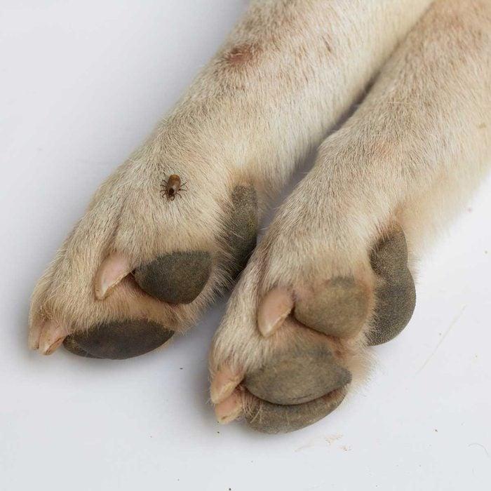 Tick On Dog Paw