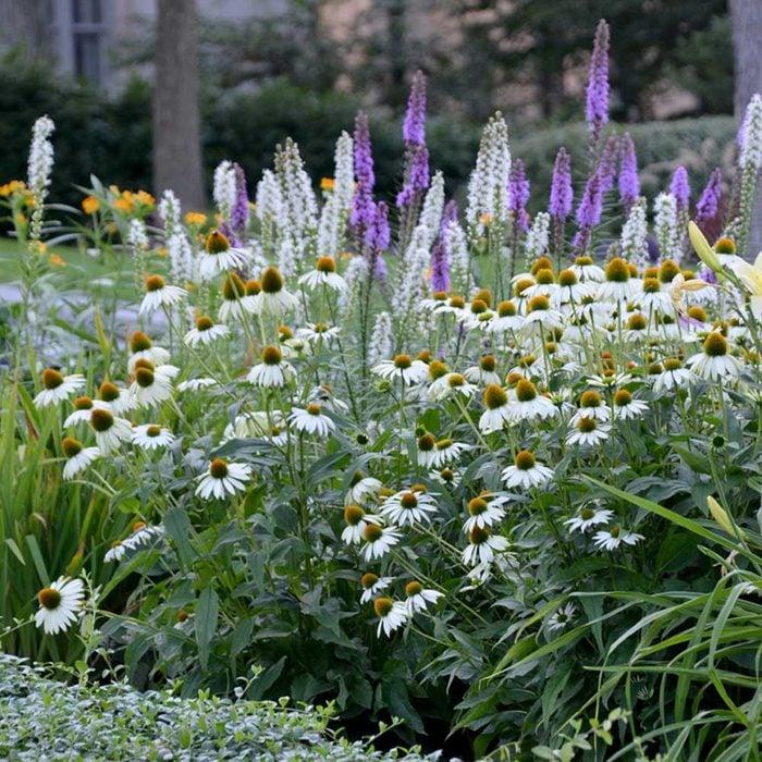 Fhart Jne21 Echinacea Landscape Photo By Susan Martin