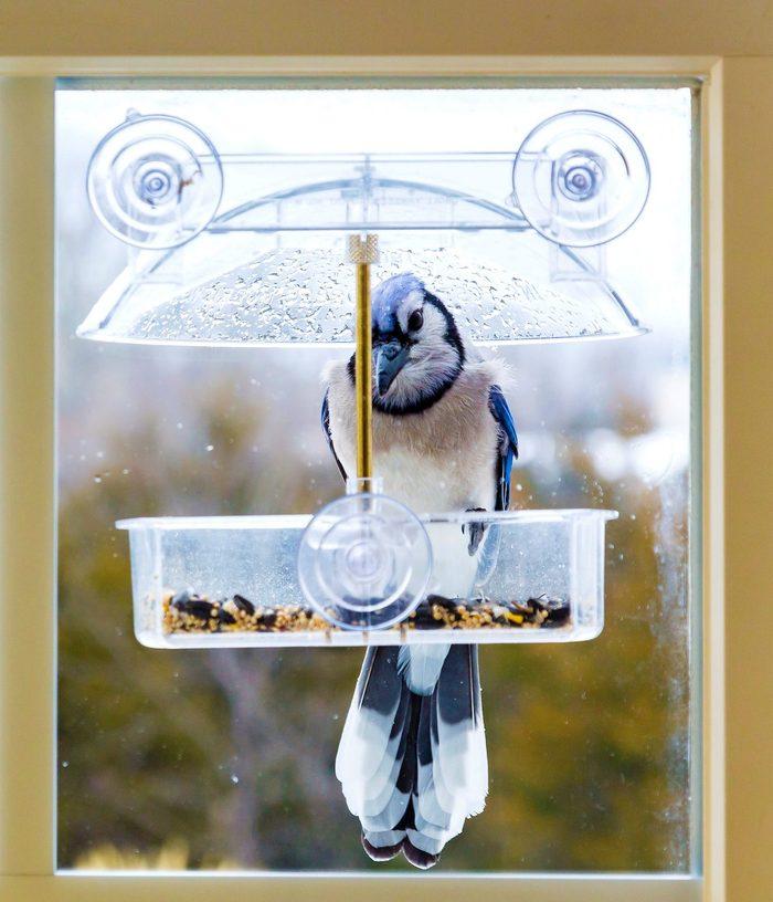 Blue Jay In Window Bird Feeder