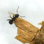 How To Identify and Get Rid of Carpenter Ants
