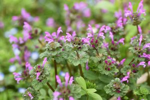 What Is Henbit and How Do I Get Rid of It?