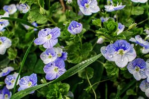 What Is Speedwell and How Do I Get Rid of It?