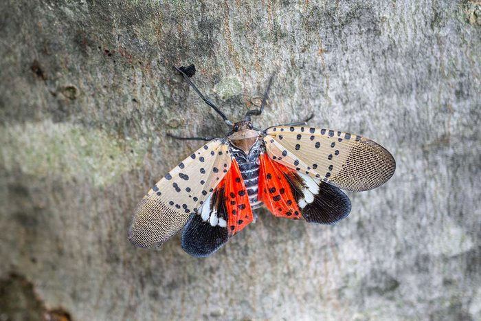 Spotted Lanternfly Gettyimages 1054495206