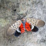 What Is the Spotted Lanternfly?