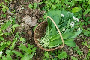 What Is Wild Garlic and How Do I Get Rid of It?