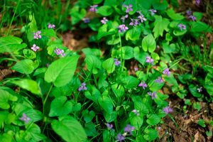 What Are Wild Violets and How Do I Get Rid of Them?