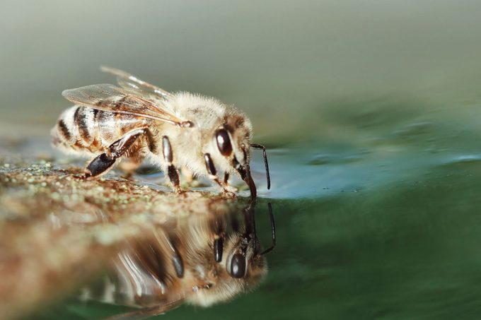 Close Up Of Honey Bee Drinking Water