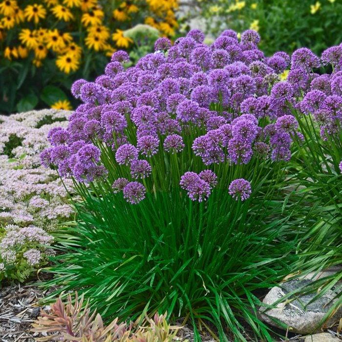 Mw Allium Millenium Photo By Walters Gardens